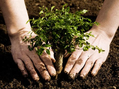 planting a tree tree planting vip trees hedges and gardens