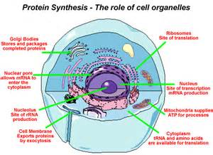 Cell Protein Synthesis Steps