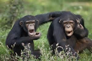 60 Shower Pan by Chimpanzees Pan Troglodytes Calling Photograph By Cyril Ruoso