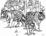 Tiger Coloring Outline Popular sketch template