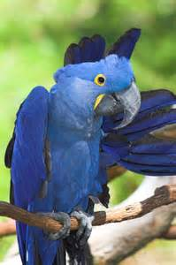 Blue Hyacinth Macaw in Brazil