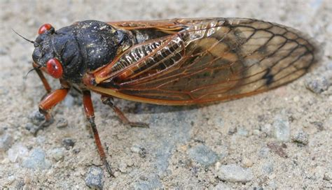 17 year cicada emerges with a roar in kansas kansas