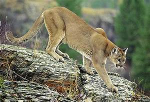 The Cougar Interesting Wild Animal Fact  U0026 Pictures