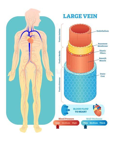 vaso sanguigno il diagramma dell illustrazione di vettore dell apparato