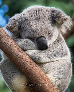 Cute Koala Sleeping Photo | Baby Animal Prints by Suzi