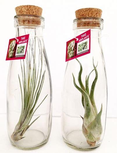 tillandsien im glas tillandsien im glas korkenflasche gro 223 corsa webshop luchtplantjes tillandsia