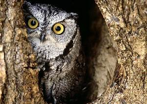Owls Habitat Pictures on Animal Picture Society