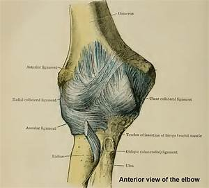 The Elbow  Joint Structure  Movements And Muscles