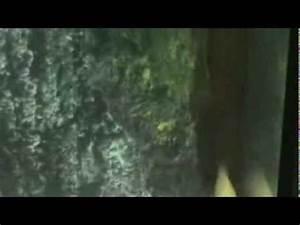 ナンヨウボウズハゼ属のコケ舐めメドレーStiphodon grazing algae