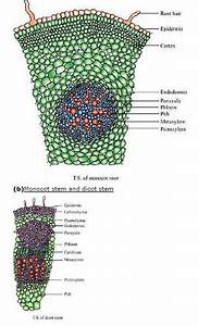 Ncert Solutions For Class 11 Biology Anatomy Of Flowering