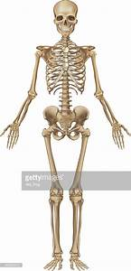 Human Skeleton Front View Vector Art | Getty Images