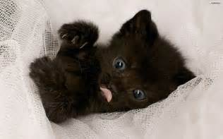 baby black cat youwall black baby cat wallpaper wallpaper wallpapers