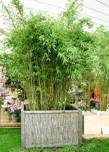Bambus Pflege Zimmerpflanze : bambus bambus als k belpflanze pflanzenauswahl garten pinterest ~ Frokenaadalensverden.com Haus und Dekorationen