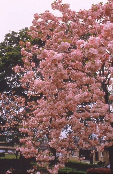 prunus trees for small gardens a small selection of trees for smaller gardens practicality brown