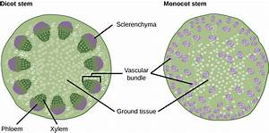 Difference Between Monocot And Dicot