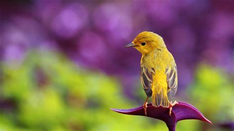 Beautiful Yellow Bird  Hd Spring Wallpaper