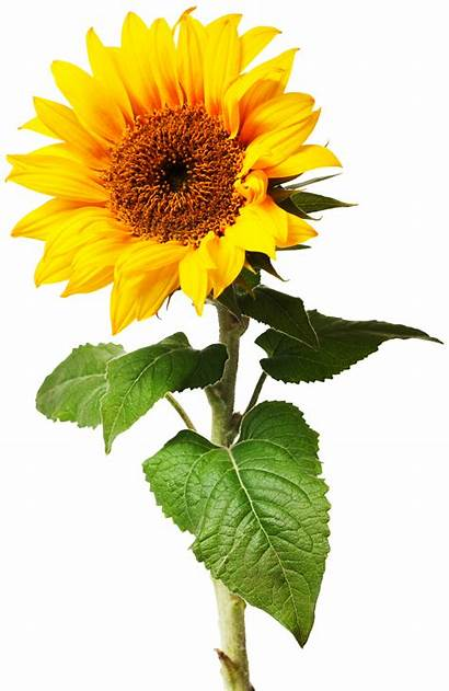 Plants Plant Types Different Sunflower Dk Flowering