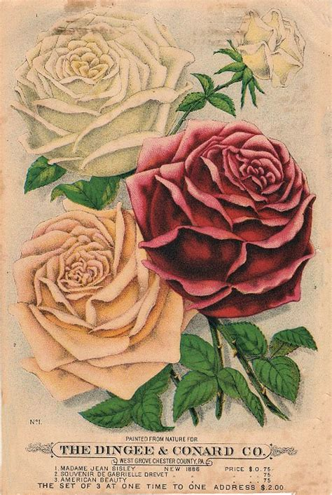 seed catalog roses  graphics fairy