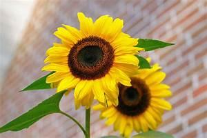 Yellow Sunflower Macro Photographyt · Free Stock Photo