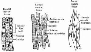 A Clinical Overview Of Muscle Types