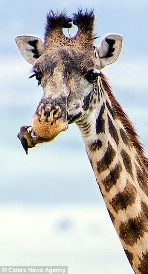 bird  giraffe   dental check    pecks