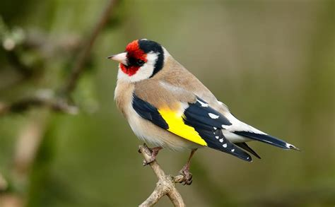 want to attract goldfinches sunflower hearts are the
