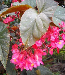 care of begonia plant the angel wing begonia and care of begonia house plants