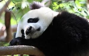 Cute Panda | Cool Wallpapers