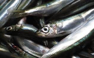 Pacific Sardine Fish