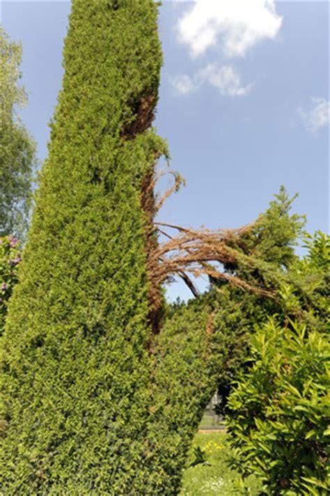 Was Ist Eine Solitärpflanze by S 228 Ulenwacholder Raketenwacholder Pflanzen Pflege Und