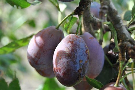 cuisine agen prunes différentes variétés et utilisations en cuisine