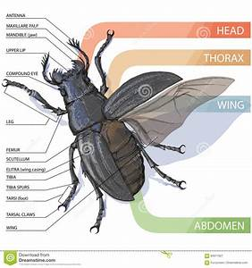 The Structure Of The Beetle  Vector Diagram Stock Vector