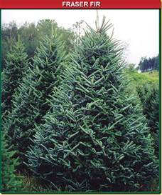 fraser fir wisconsin tree guy
