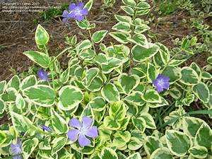 Plant Identification: CLOSED: Variegated ground cover w ...