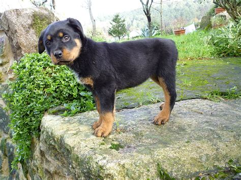 Filerottweiler Puppy Chica Jpg Wikimedia Commons
