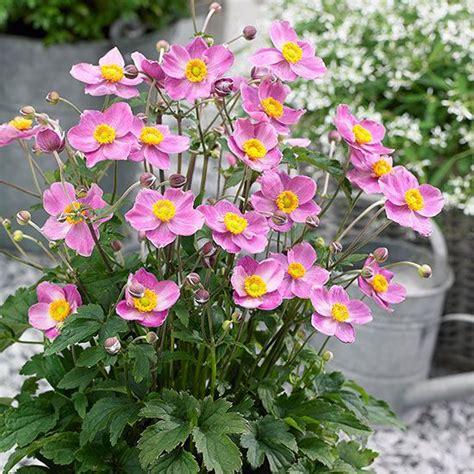 perennial shrubs sun 57 best sun loving shrubs and flowers images on pinterest