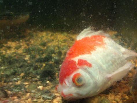 mes poissons voile de chine poisson mort voile