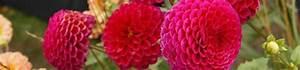 Quand Planter Des Dahlias : planter et cultiver les bulbes d 39 t dahlia canna gla eul lis agapanthe le magazine ~ Nature-et-papiers.com Idées de Décoration