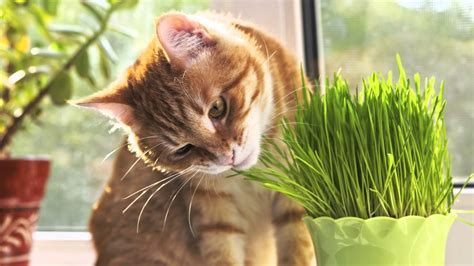 grass cats eat why