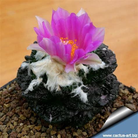 สกุลของแคคตัส - Cactus