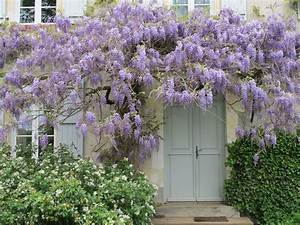 3 raisons de rendre la Glycine incontournable au jardin Jardinier Conseil