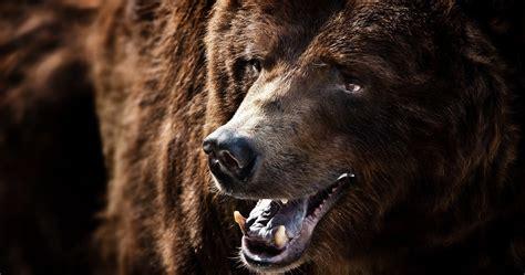 Grizzly Bear Wallpaper 4k
