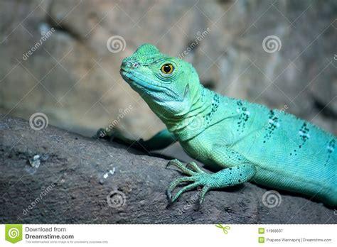 lagarto colorido del basilisco del verde azul imagen de