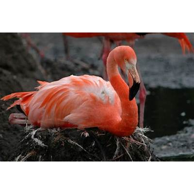 Image - Phoenicopterus ruber (Caribbean Flamingo)BioLib.cz