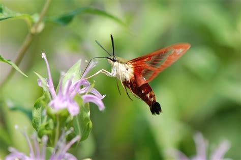 hummingbird moth urban wildlife guide a hummingbird clearwing moth