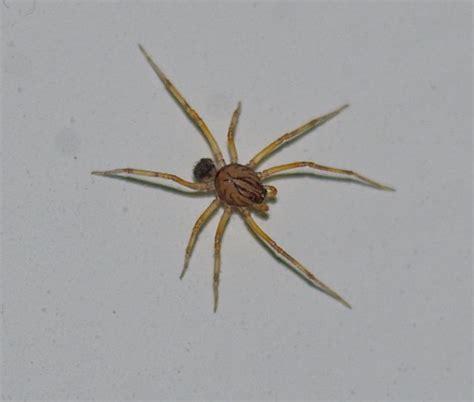ragno in casa i ragni pi 249 belli escono fuori in casa scytodes