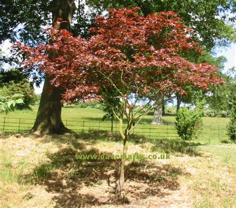 japanese maples care japanese maple tree picture gallery