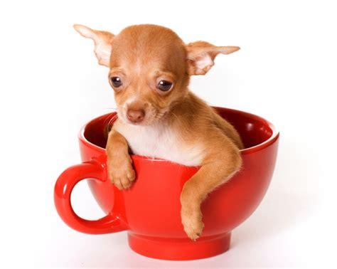 roll  rocket tempest   teacup exploring tiny dog