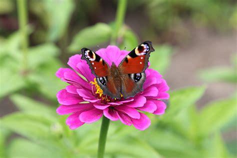 Schmetterlinge Im Garten Gartenzauber
