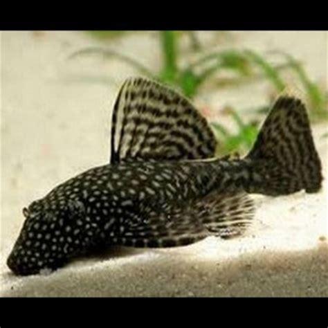 Poisson Aquarium Eau Chaude by Poissons Eau Chaude Loricarides Monpoissonexotique